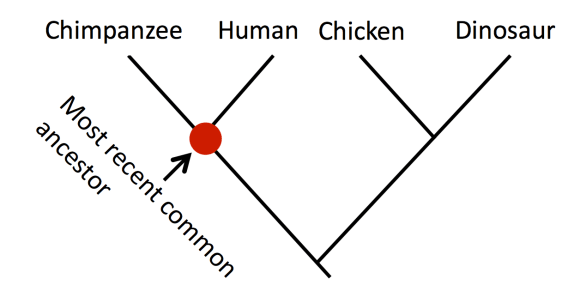 Phylogenetic tree diagram.