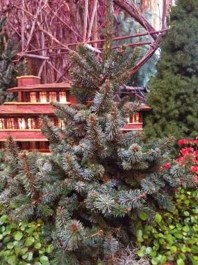 Picea omorika 'de Rutyer'