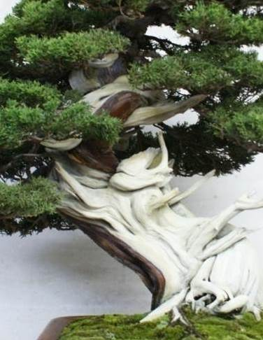 PHOTO: This juniper displays amazing shari.