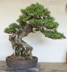 PHOTO: The same bonsai pine after overwintering prep.