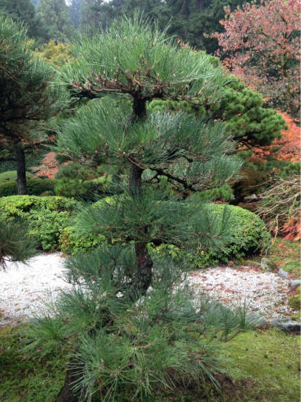 PHOTO: Japanese black pine after pruning.