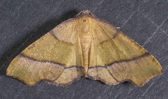 PHOTO: Plagodis phlogosaria (Straight-lined Plagodis moth).