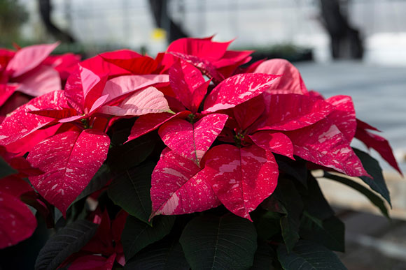 PHOTO: Premier Jingle Bells poinsettia.