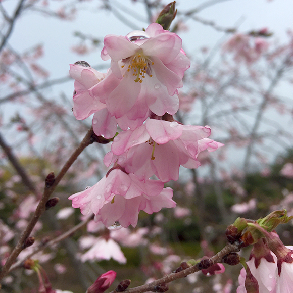 Nanking cherry (Prunus tomentosa) in bloom