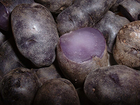 Purple Peruvian potatoes (Solanum andigenum)