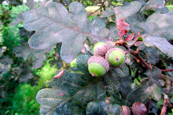 English oak (Quercus robur 'Purpurascens')