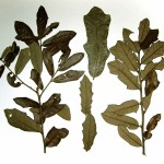 PHOTO: Quercus minima herbarium voucher.