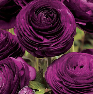 Ranunculus asiaticus Maché 'Purple' by Ball Seed