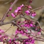 Redbud (Cercis canadensis) in bloom