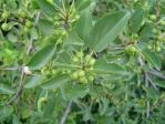 PHOTO: European buckthorn in early (unripe) fruit.