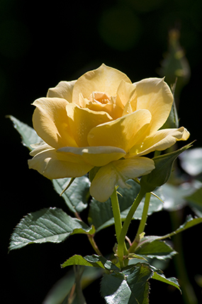 Honey Perfume rose (Rosa 'JACarque')