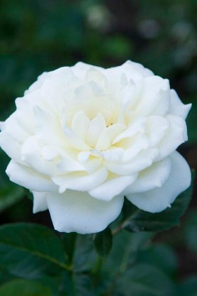 PHOTO: Rosa 'Jactanic'.