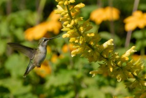 PHOTO: A female ruby-throated hummingbird (males have the ruby coloring) enjoys a sip of salvia nectar in Circle Garden in summer.