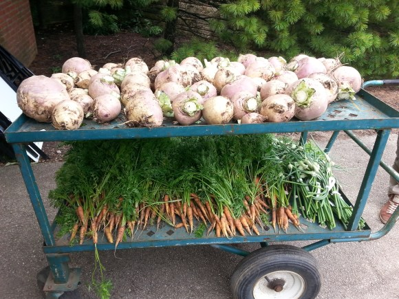 PHOTO: A cartful of Laurentian rutabaga, plus carrot cultivars 'St. Valery' and 'Danvers' just harvested July 8—all from 1890s vegetable beds!