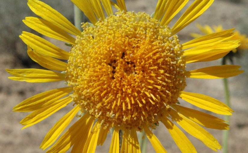 A Rare Plant Portrait: The Silverleaf Sunray (Enceliopsis argophylla)