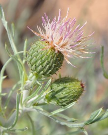 PHOTO: Pitcher's thistle (Cirsium pitcheri)