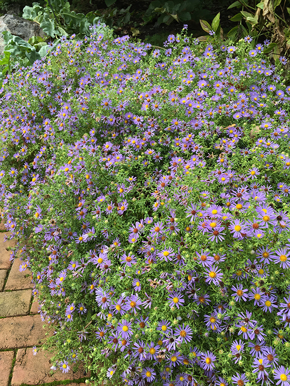 October Skies aromatic aster (Symphyotrichum oblongifolium 'October Skies')