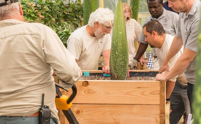Moving titan arum #5 from the Production Greenhouse to Garfield Park Conservatory.