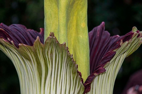 A titan arum, or corpse flower (Amorphophallus titanum) in bloom.