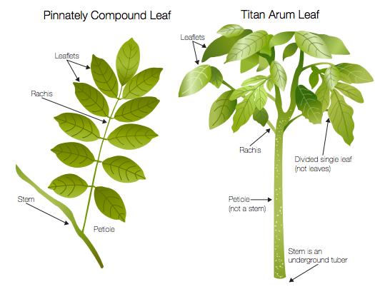 ILLUSTRATION: Titan arum leaf parts diagram.