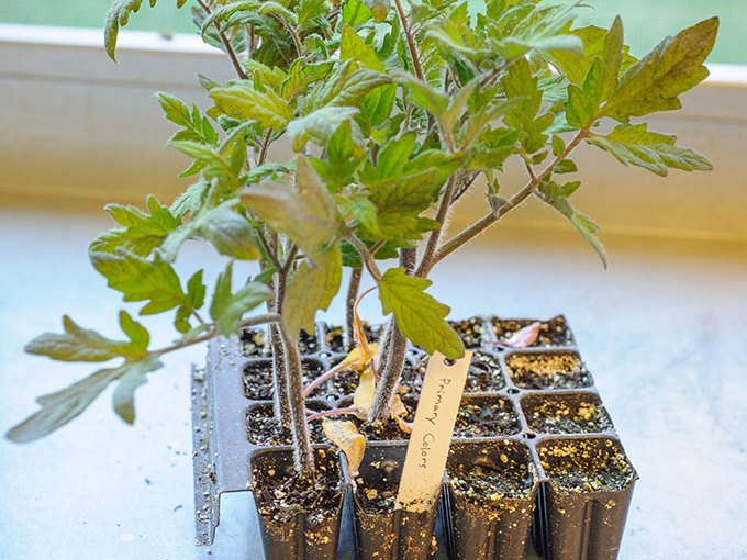 PHOTO: Tomato seedlings in 4x4 pack tray with plant label.