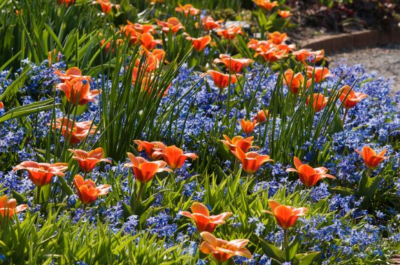 PHOTO: Tulipa x kaufmanniana 'Early Harvest' and Muscari