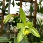 Vanilla Flower After Pollination