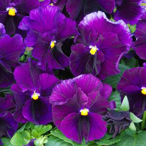 Viola 'Fizzy Grape' by Ball Seed