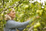PHOTO: Apple picking in the Fruit and Vegetable Garden orchard.