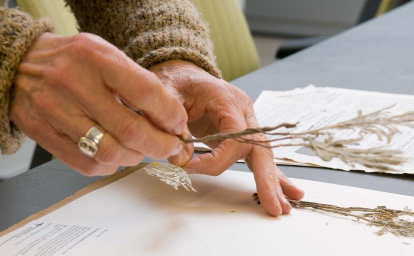 PHOTO: Volunteer Phyllis Baer places plant samples onto herbarium pages.