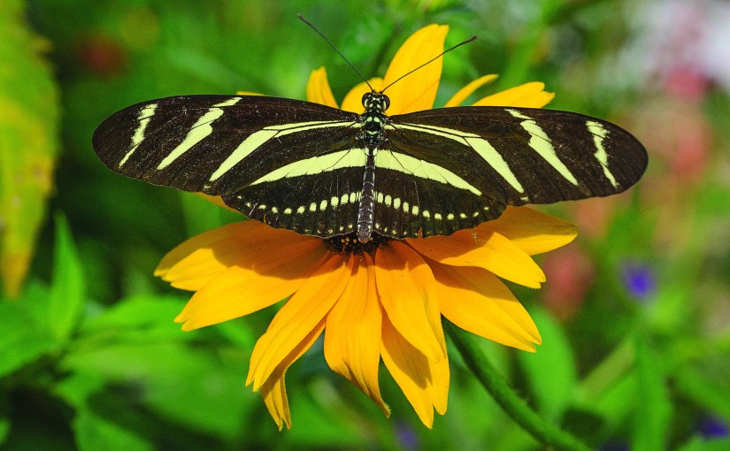 Zebra longwing butterfly (Heliconius charitonius)