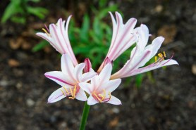 PHOTO: Peppermint surprise lily (Lycoris incarnata)