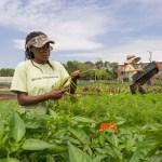 PHOTO: Harvesting carrots at the Windy City Harvest Legends farm.