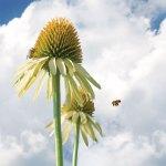 WED echinacea