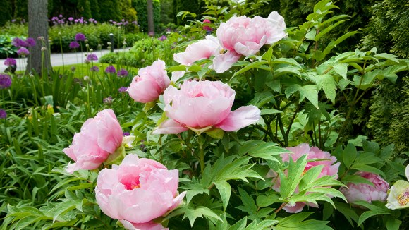 PHOTO: The renewal of spring in the Garden: peonies in bloom in the West Flower Walk.