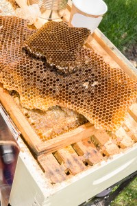 PHOTO: Bees transferring to new comb.