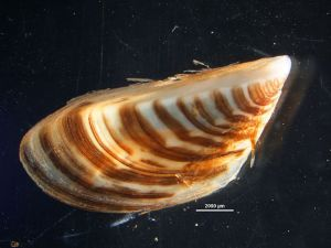 PHOTO: Adult zebra mussel (Dreissena polymorpha).