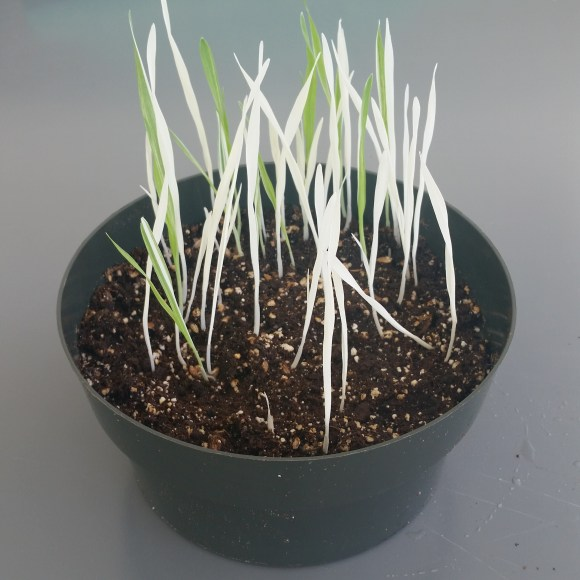 PHOTO: most of the grass is all white, but there are nine or ten all or partially green leaves.