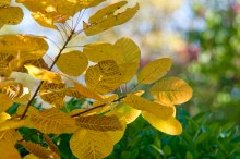 PHOTO: American smoke tree (Cotinus obovatus) in fall.