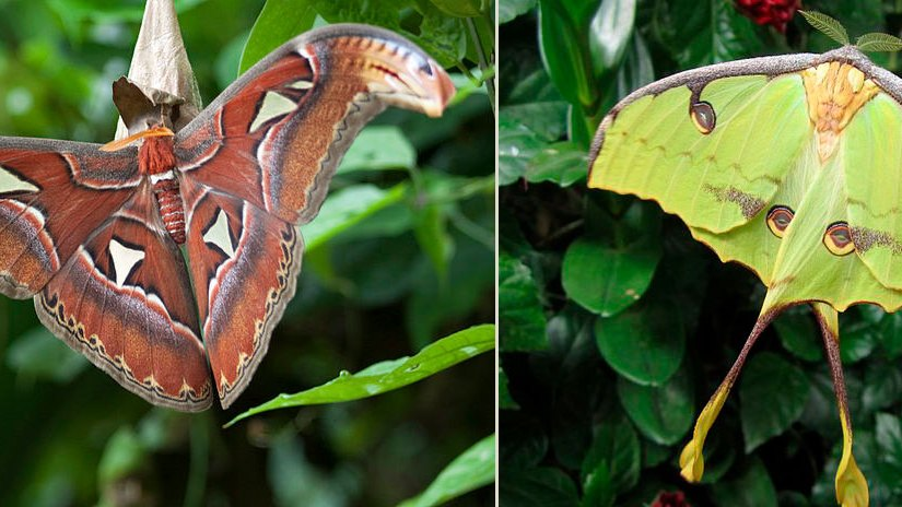 PHOTO: Atlas and African moon moths.