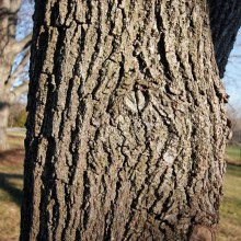 PHOTO: Black walnut (Juglans nigra) bark.