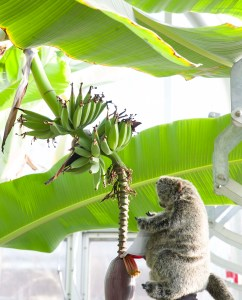 PHOTO: Botanical Bill gets a banana snack.