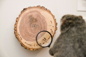 PHOTO: Botanical Bill checks out the rings on a tree slice.
