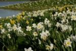 bird island Daffodils a_RJC1158