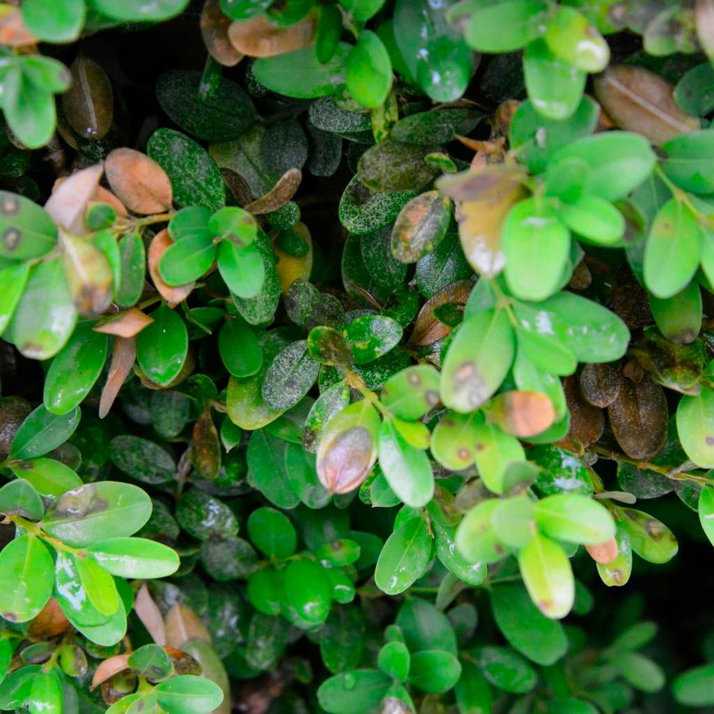 Plant Disease Alert Boxwood Blight My Chicago Botanic