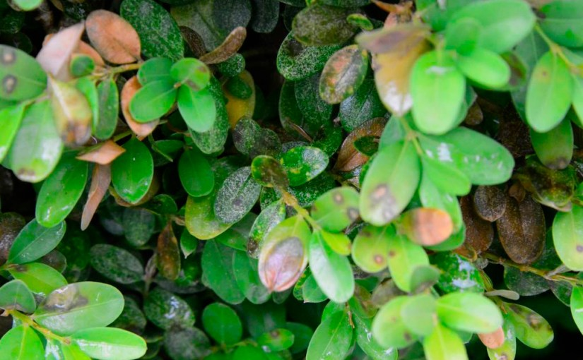 Plant Disease Alert: Boxwood Blight