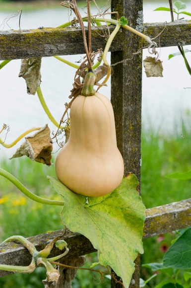 PHOTO: Butternut squash.