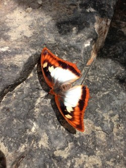 charaxes_protoclea_wingspread