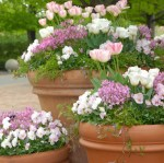 PHOTO: Spring container gardens include tulips, nemesia, pansies, and other cool-hardy plantings.
