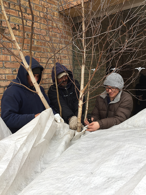 Heavier frost blankets are stapled around tree trunks to protect displays around the Regenstein Center.